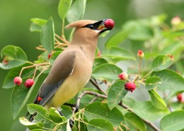 songbird, serviceberry