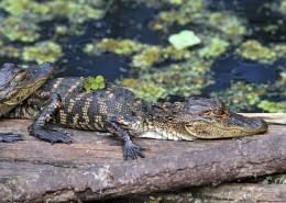 Corkscrew Swamp Florida