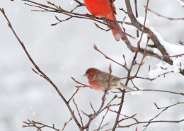 Northern cardinal, house finch, snow