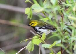 neo-tropical songbird